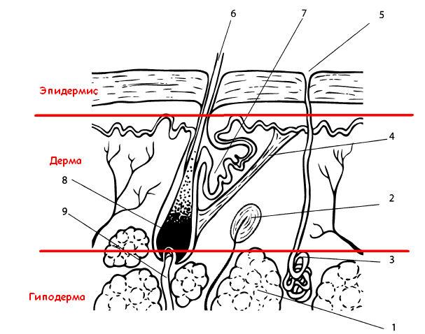 структура кожи - эпидермис, дерма
