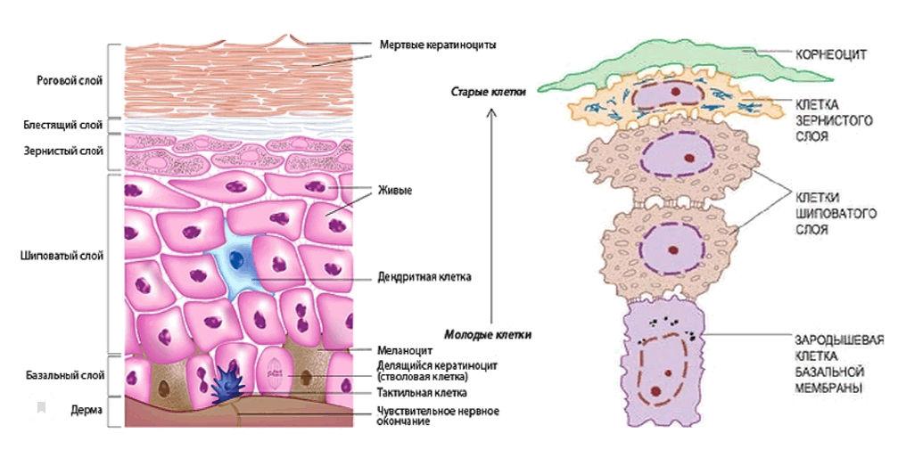 клетки эпидермиса